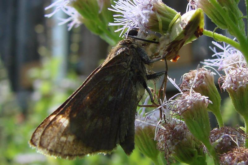 Phymata fasciata (Jagged Ambush Bug) preying on a female Sachem butterfly.  TX: Tarrant Co. (Duhons' Fort Worth yard), 29 August 2009.
