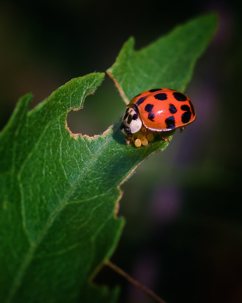 Asian Lady Beetle Tending to Eggs