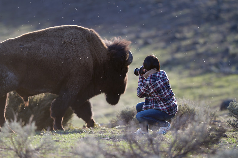 Bison and photographer Yellowstone National Park WY IMG_6346.jpg