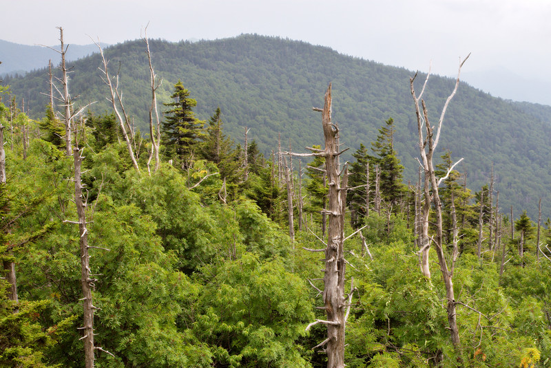 The forests at the the high elevation mountain tops are spruce-fir forest.  Everything is a lush green in the understory and it smells like Christmas trees.