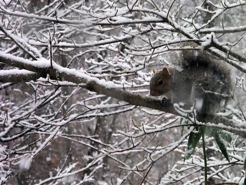 Snowy squirrel.jpg