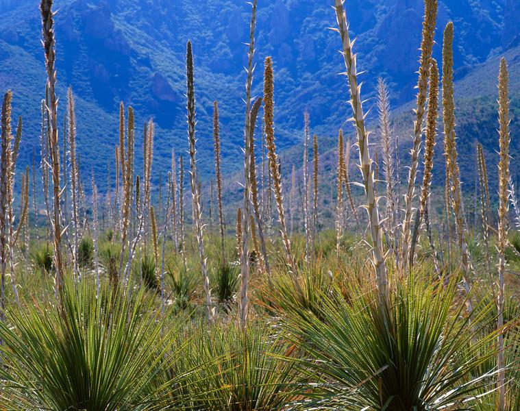 Sierra del Carmen, Coahuila, Mexico / Flowering Sotol stalks, Dasylirion leiophyllum, back lit against the Sierra del Carmen. 1105H4