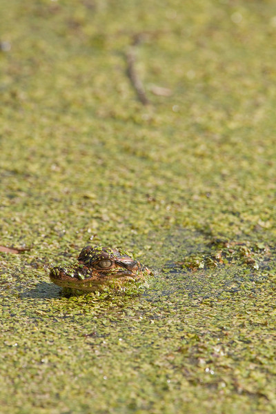 American alligator hatchling in duckweed.