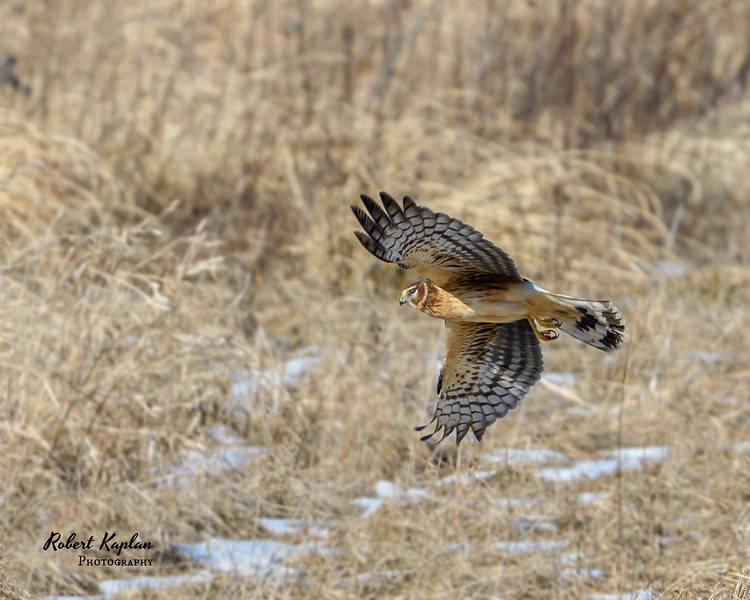Northern Harrier-7493.jpg