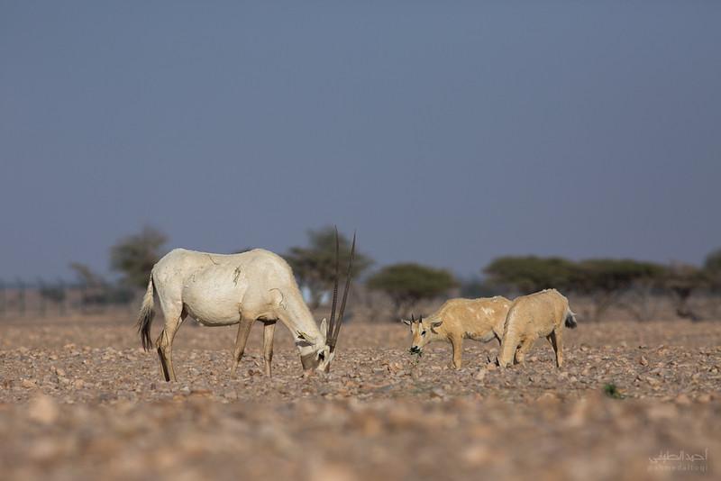 Arabian Oryx (64).jpg