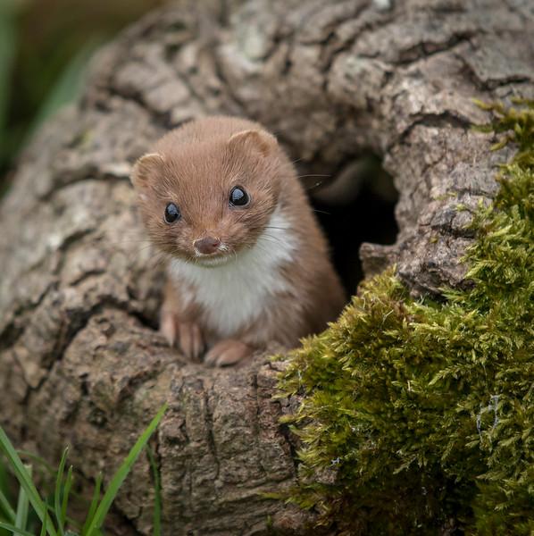 Weasel Watching.jpg