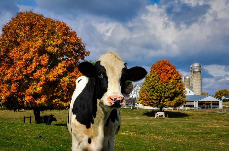 Autumn 2015 - Cow and Foliage on Farm(p).jpg