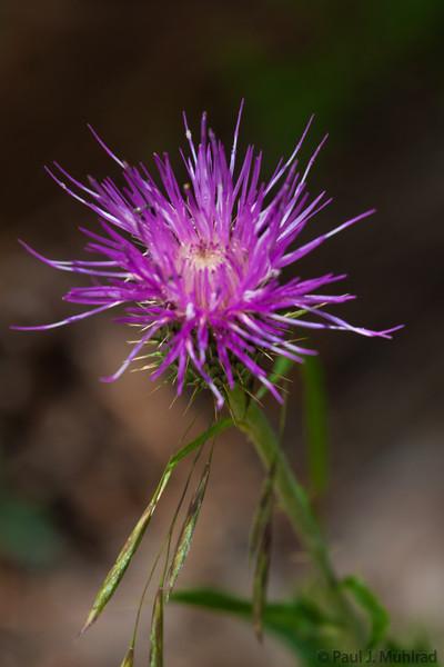 Mt. Lemmon Wildflowers