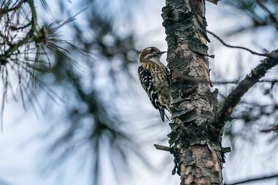 Pygmy Woodpecker [Picoides kizuki]
