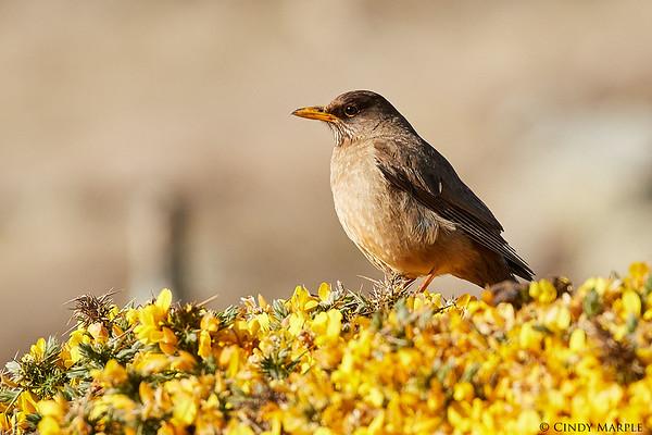 Falklands Birds