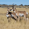 Pronghorn on the Sheldon National Wildlife Refuge