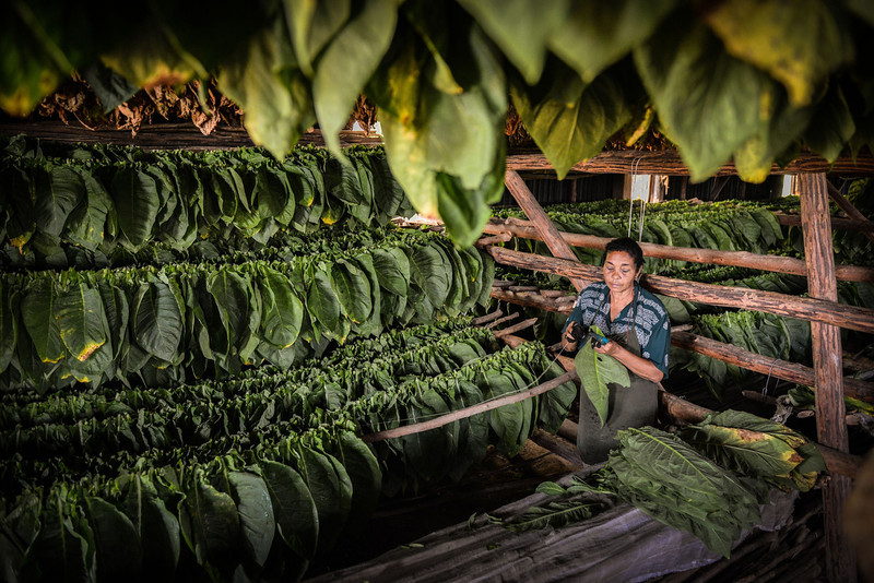 . A Cuban worker sews up together tobacco leaves, on February 25, 2014 in a plantation, on February 25, 2014 in the San Juan y Martinez municipality, Pinar del Rio province, Cuba. The production of Cuban cigars experienced an 8% growth in 2013 adding 447 million dollars to the Cuban economy. The XVI Havana Cigar Festival is running in Cuba with the presentation of the best Cuban cigars. (ALBERTO ROQUE/AFP/Getty Images)