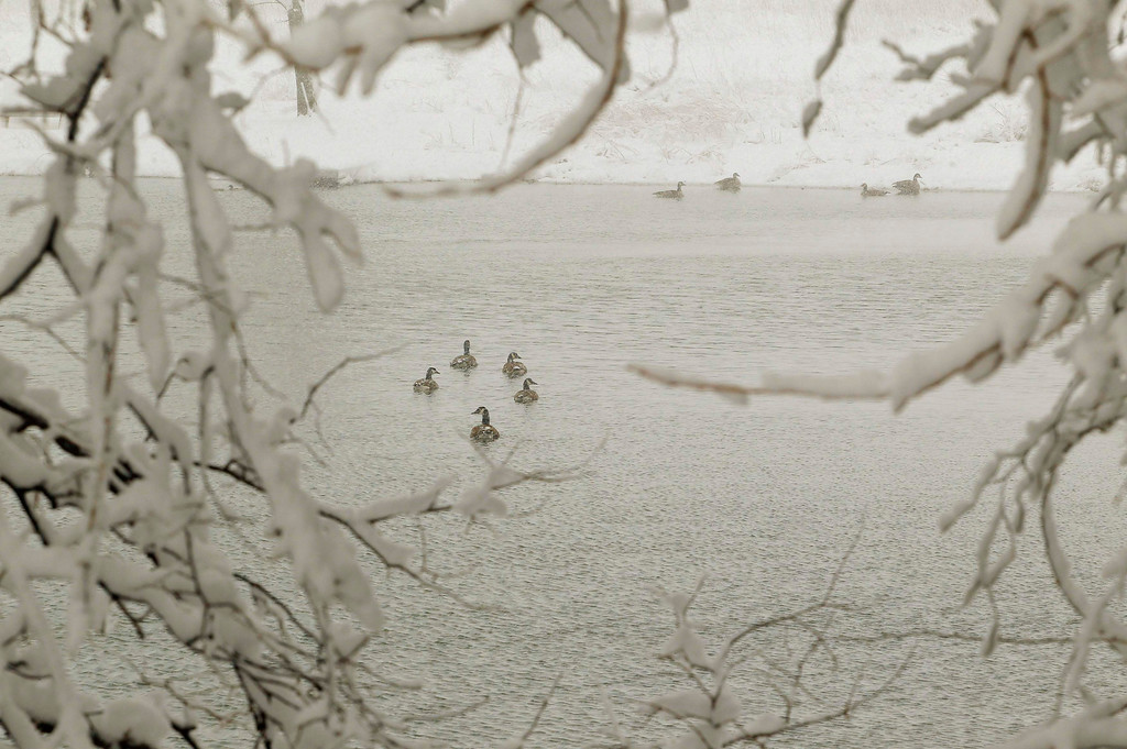 """. Canada Geese swim in a pond during a massive blizzard near Winchester, Virginia, west of Washington, March 6, 2013.  Jokingly referred to as \""""snowquestration\"""" in a nod to the federal budget crunch, the wintry weather prompted storm warnings for much of the Ohio River Valley and the mid-Atlantic states and as far south as Georgia as the storm moved east, the National Weather Service said.  REUTERS/Gary Cameron"""