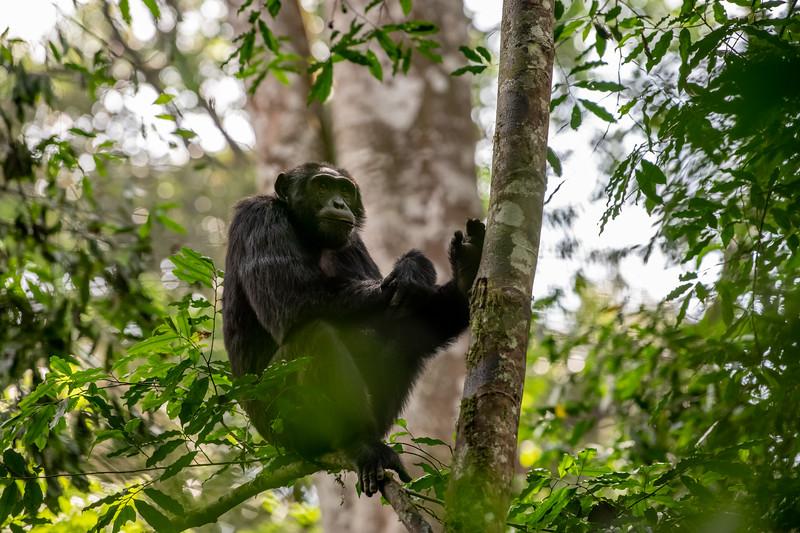 Uganda_T_Chimps-385.jpg