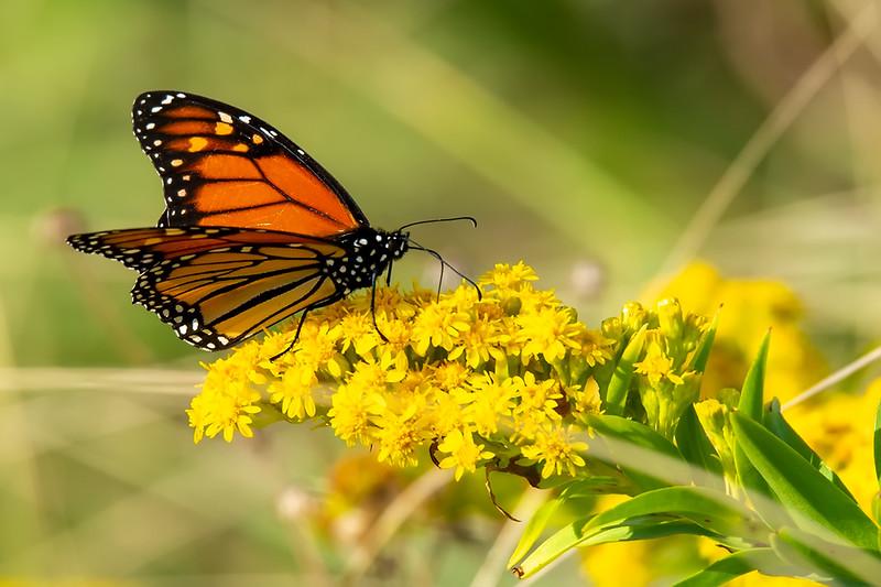 Butterfly_01_Rockaway_13Oct2019_150-600mm.jpg