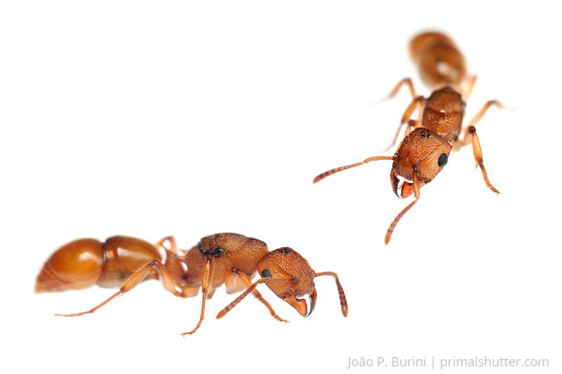 Acanthoponera ant Piedade, SP, Brazil August 2012 Tropical rainforest