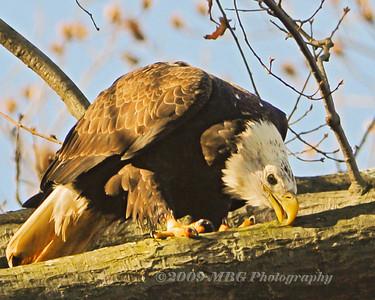 Conowingo Dam Eagles 2009