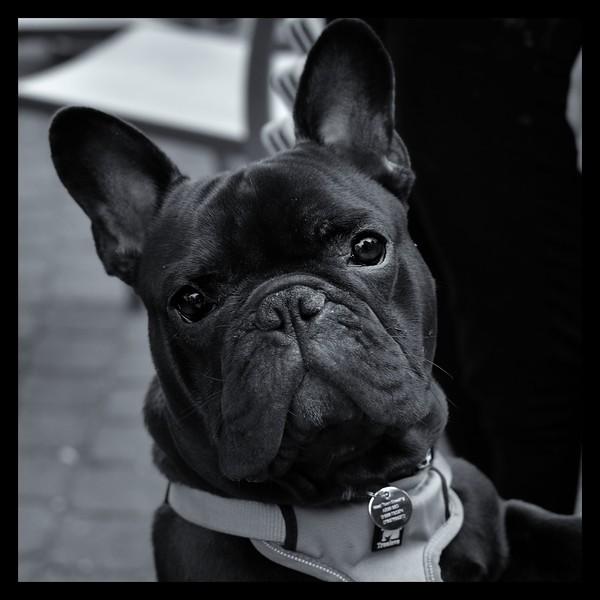 Theo French Bulldogbw22222.JPG