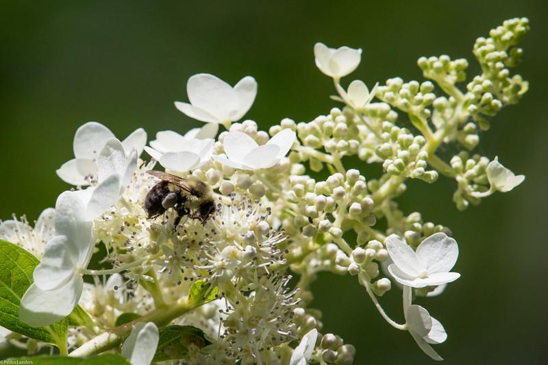 Hydrangea and Bee.jpg
