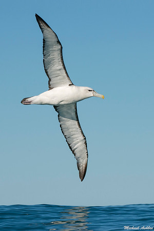 New Zealand White-capped Albatross