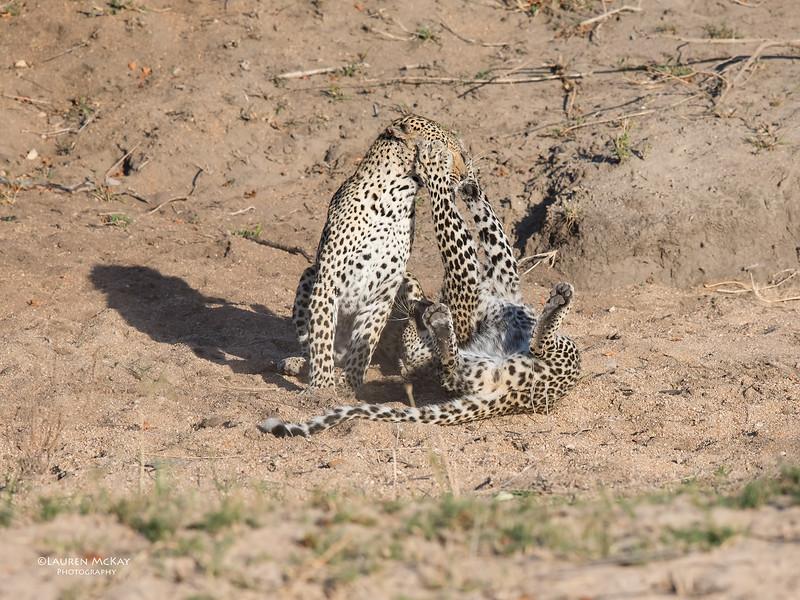 Leopard (Salayexe & Tiyane), Sabi Sands (EP), SA, Oct 2016-6.jpg