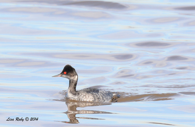 Eared Grebe - 1/18/2014 - Salt Works