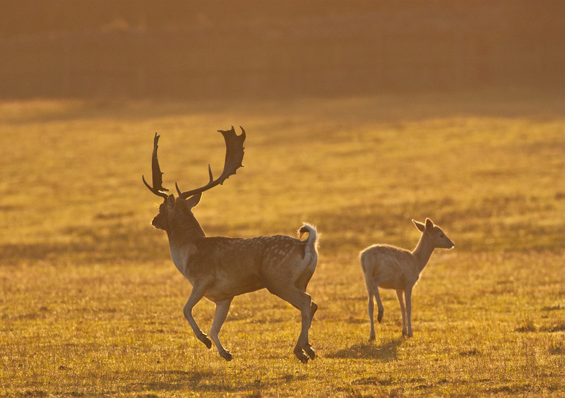 Fallow Family at Dawn