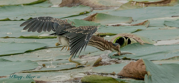 Green Heron action_DWL3870.jpg