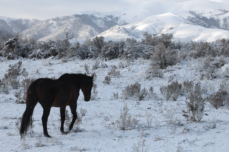 My old man Thoroughbred Stormy in the Owyhee snow, Idaho