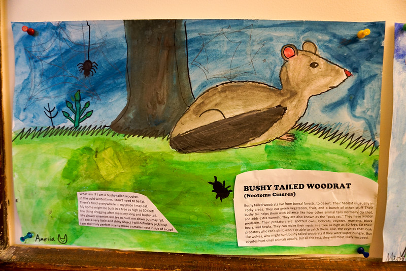 Amelia's report on the bushy tailed woodrat
