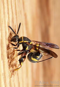 Leucospis is a parasite of wood-nesting bees and wasps. Here, a female lays her egg in an unguarded nest.  Urbana, Illinois, USA