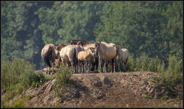 Konikpaard/Conichorse