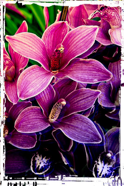 WEB Orchids iPhoto pixi 005187.jpg