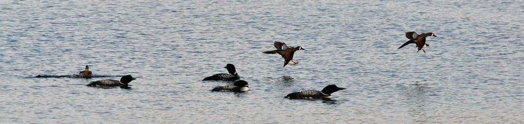 . Blue-winged teals landing among loons.   (Pioneer Press: Dave Orrick)