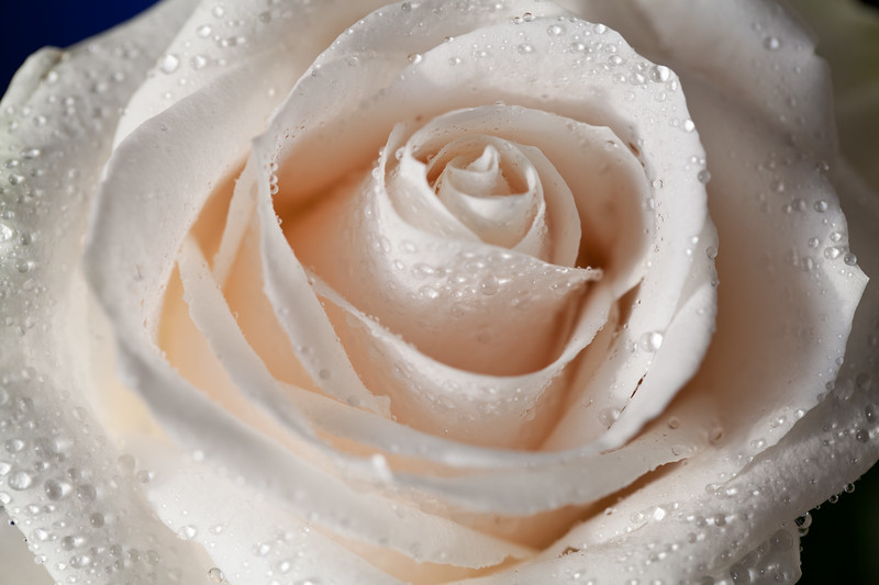 1 fave love ROSE (31 of 39).jpg