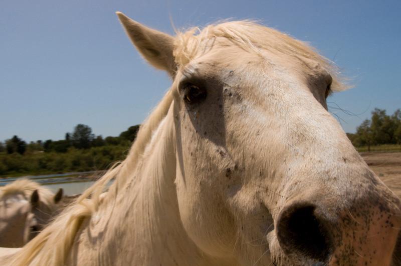 horseface carmague nostril
