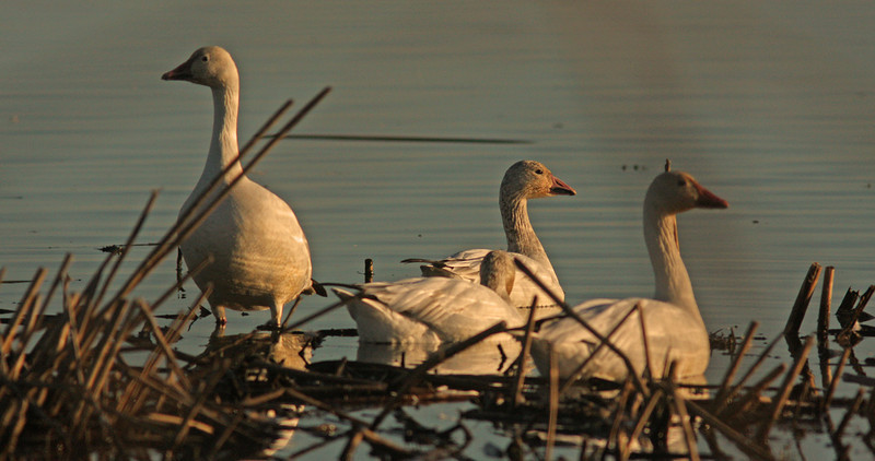 WB~Snowgeese 3 sunset Colusa1280.jpg