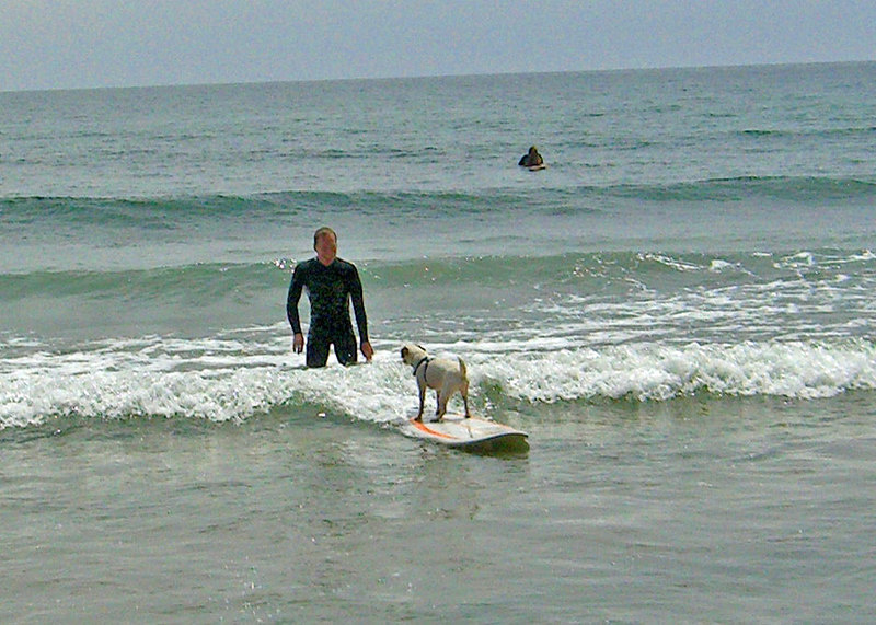 BillyJack the surfin' dog at the famous rincon point locale, California