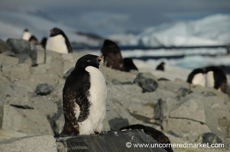 Penguins Getting a Bit of Sun - Prospect Point, Antarctica
