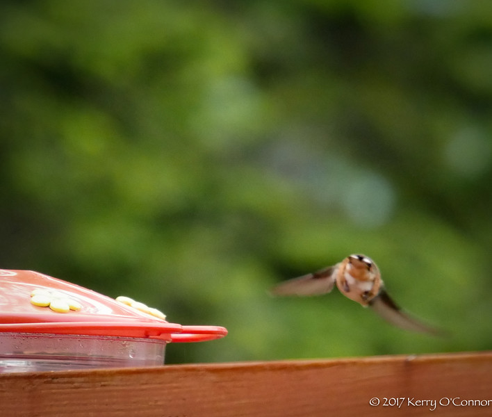 Female Rufous Hummingbird butt