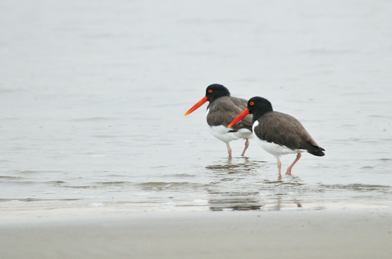 DSC_5047_oystercatcher_couple_lg.jpg