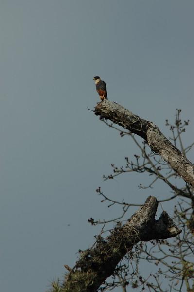 Bat Falcon Ecuador