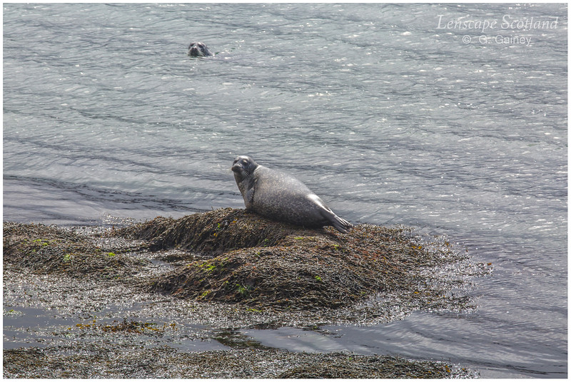 Seals, Arinambane, Loch Ainort