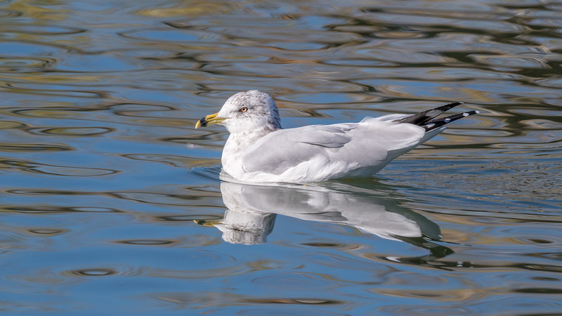 00 0088 Ring Billed Gull at Belmar 0010 16x9.jpg