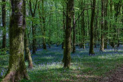 Derren Bluebell Woods