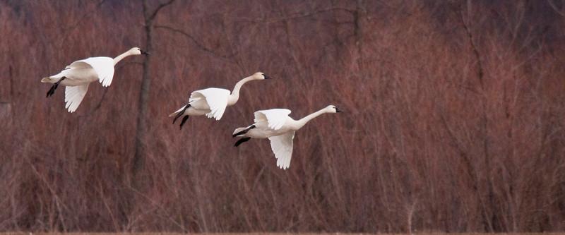 2011 swan migration aylmer (23 of 51).jpg