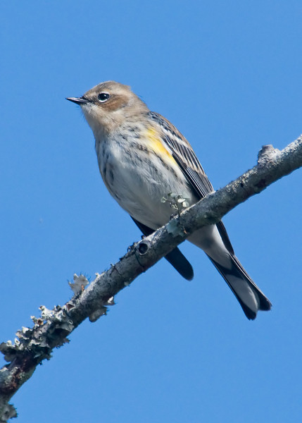 Warbler - Yellow-rumped - Bald Point State Park  FL