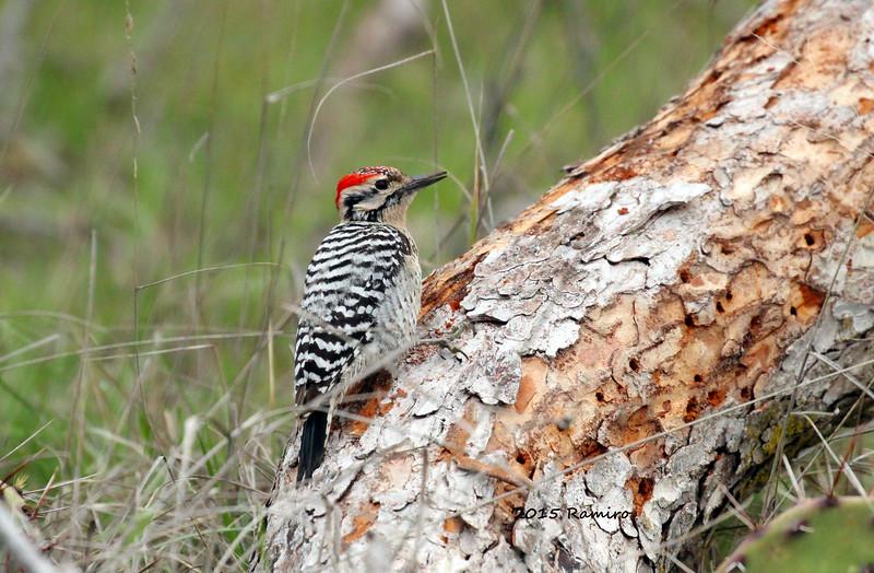 Woodpecker 3-22-15 417.jpg