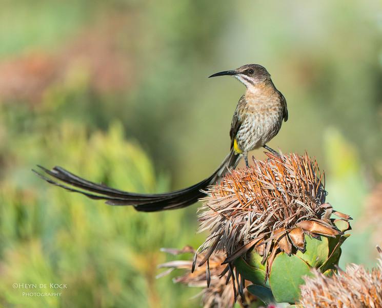 Cape Sugarbird, Swartberg Pass, WC, SA, Dec 2013-2.jpg