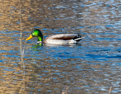 Duck & Geese Pictures